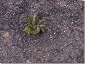 garden_week_two_flame_lettuce