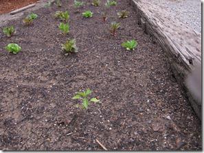 Garden_week_two_serrano