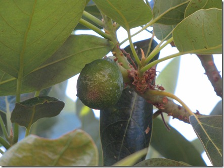 avocado_tree_small_fruit
