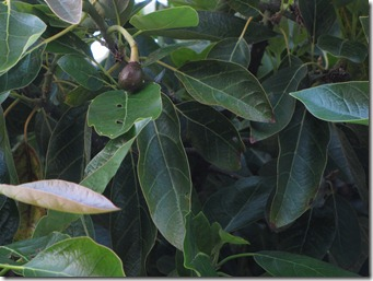 our_berkeley_garden_avocado_tree