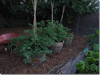 our_berkeley_garden_tomatoes