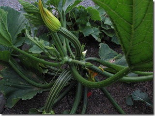 our_berkeley_garden_zucchini