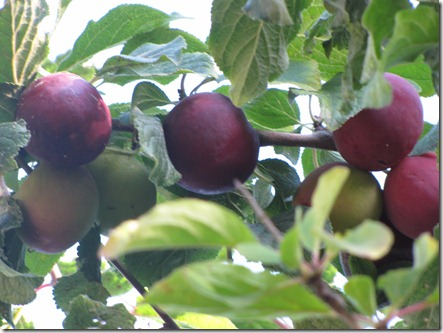 plum_tree_red_fruit