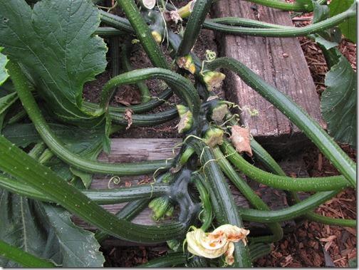 zucchini_monster