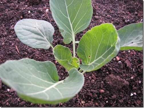 brussels_sprouts_seedling